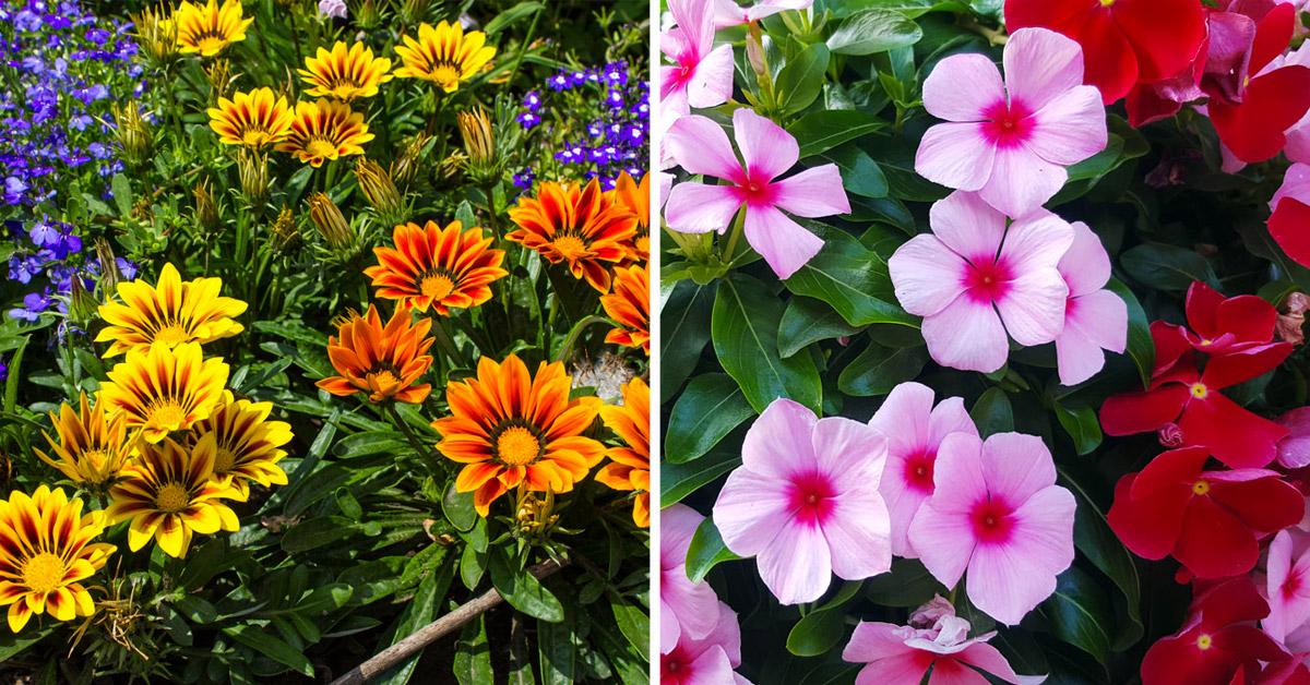 Piante fiorite che possono resistere al sole cocente.