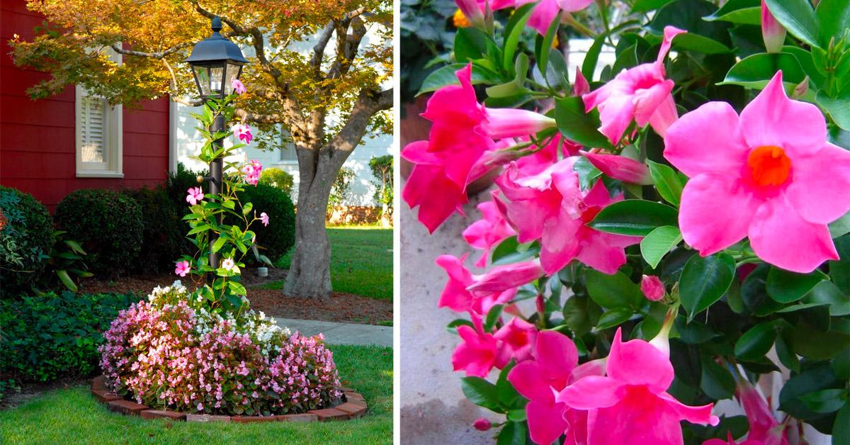 La Mandevilla è la soluzione per chi cerca una rampicante dai grandi fiori spettacolari