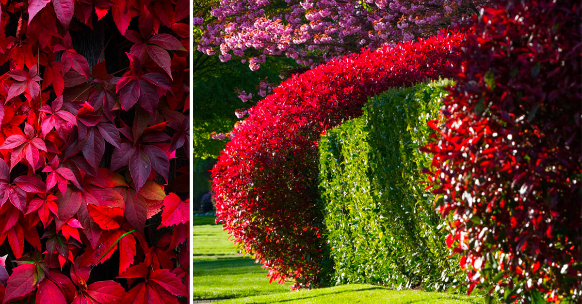 Arredare il giardino e renderlo unico con gli arbusti rossi