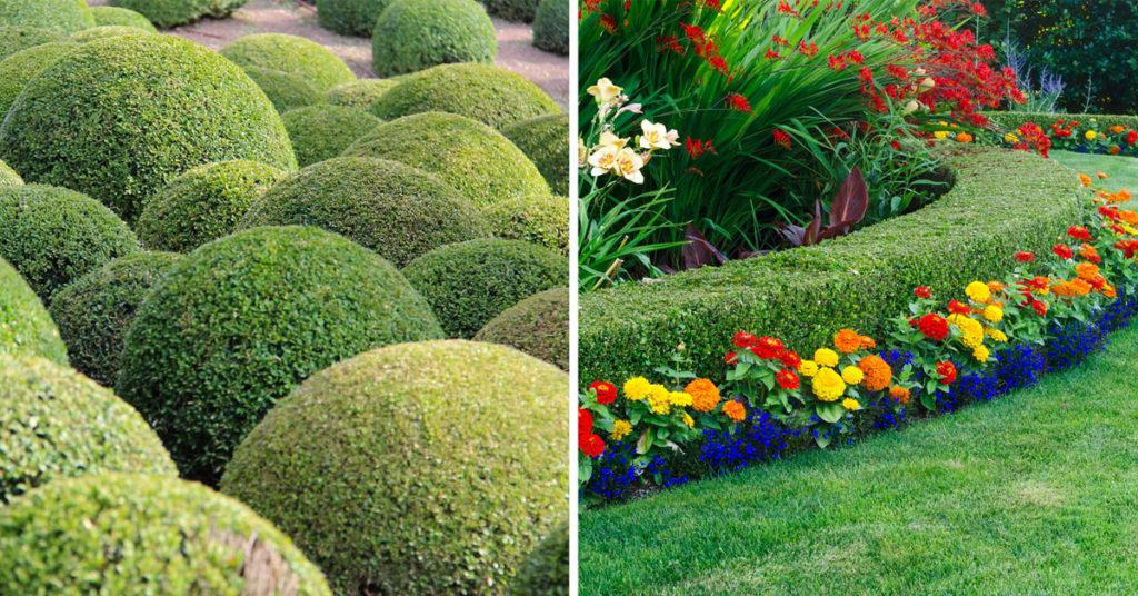 Pianta del bosso decorazioni giardino.