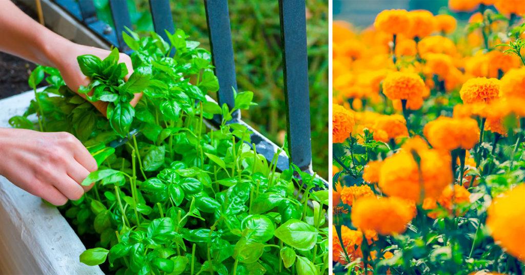 Esempi di piante repellenti per le zanzare da balcone o da casa