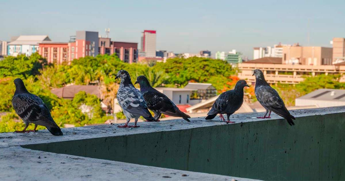 Come cacciare i piccioni dal balcone