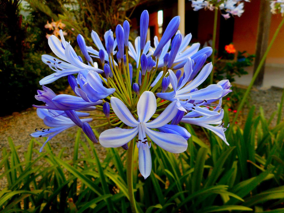 Fiori blu per giardino e balcone
