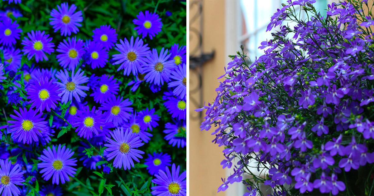 Quali fiori blu scegliere per giardino e balcone in autunno