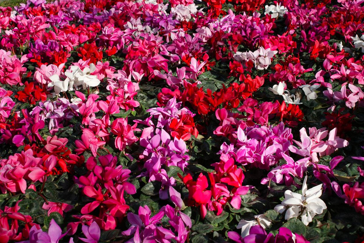 fiori autunnali per giardino colorato