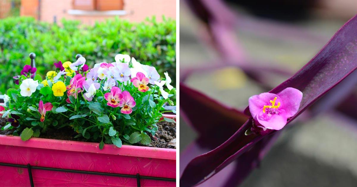 fiori autunnali da coltivare in vaso