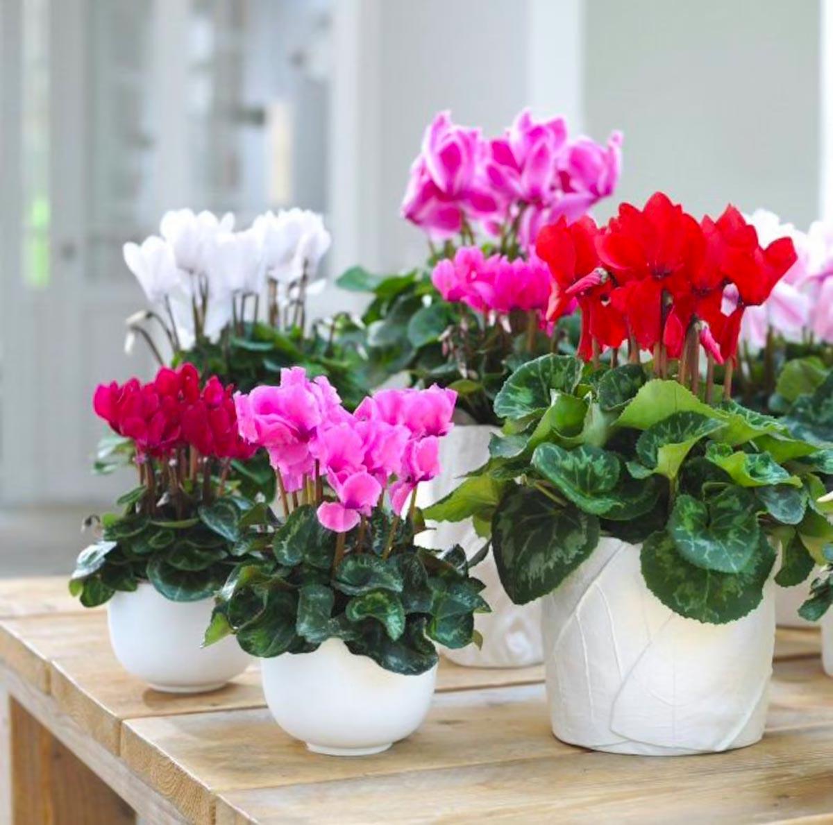 coltivare i ciclamini in vaso