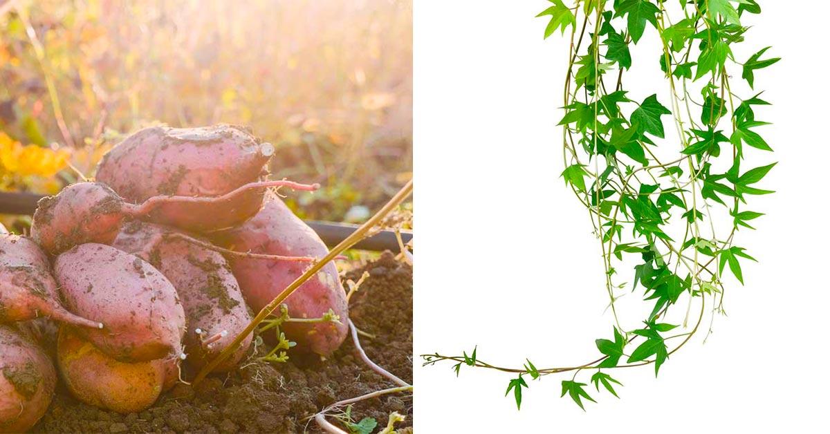 Come trasformare la patata americana in una pianta ornamentale