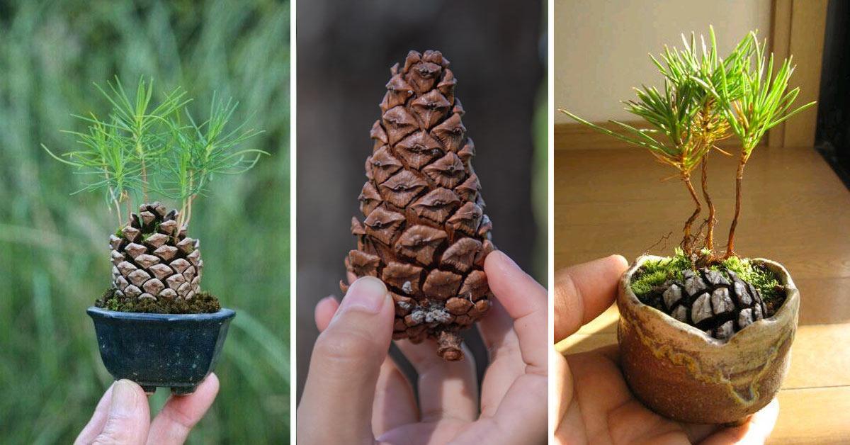 Come fare germogliare pino da una pigna.