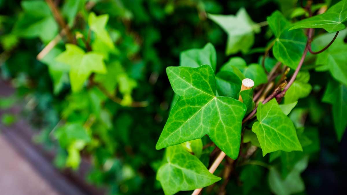 decorare casa e giardino con l'edera