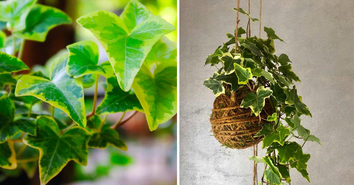 pianta edera siepe e decorazioni
