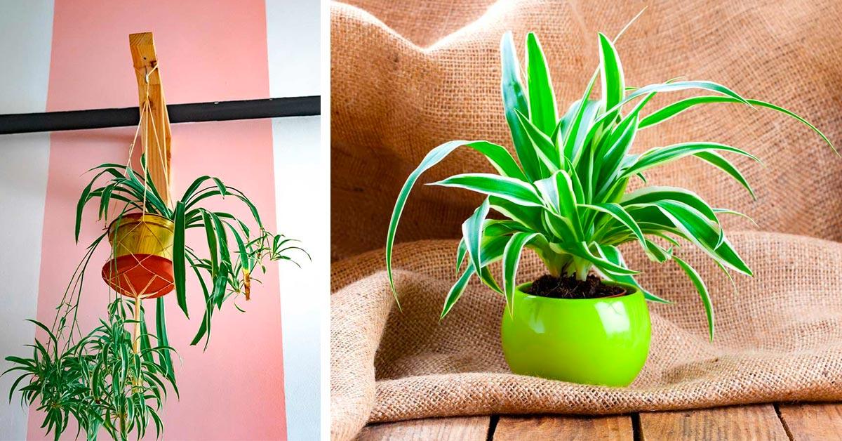 Falangio pianta che purifica l'aria di casa