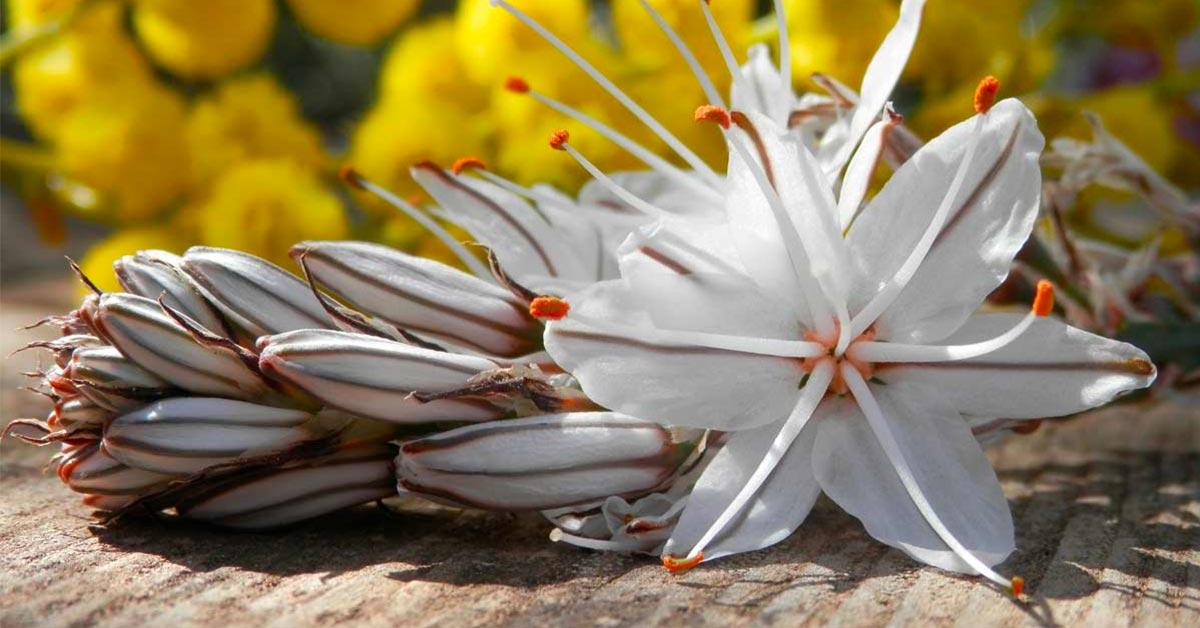 fiori giardino asfoledo
