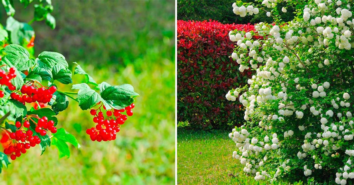 Viburno, pianta per aiuole e siepi.